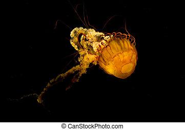 Backlit yellow jellyfish on black background