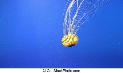 Jellyfish (Chrysaora hysoscella) in an aquarium