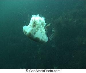 jellyfish medusa Medusozoa underwat - underwater diving...