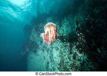 Picture shows a jellyfish in British Columbia, Canada