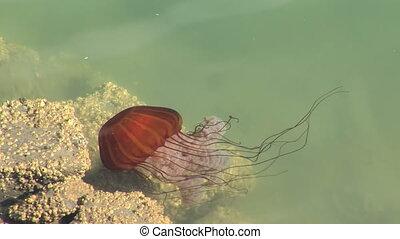 Jellyfish - Sea Nettle, a lone jellyfish in Newport, Oregon