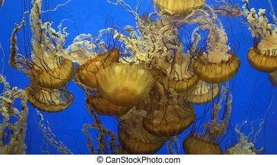 Jellyfish - Sea nettle jellyfish (Chrysaora)