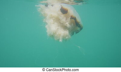 Jellyfish slowly getting away - A tracking shot of a...