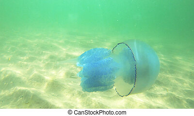 Jellyfish swimming in clear water.