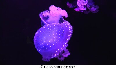 Jellyfish Swimming In Tank