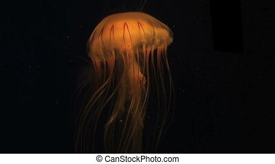 Jellyfish Swimming - Jellyfish swimming in aquarium.