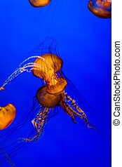 Jellyfish with blue background