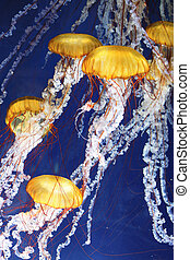 jellyfish with blue ocean water