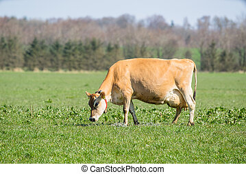 Jersey cow frazing on a field