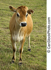 Jersey cow in field - One of the famous cows on the Channel...