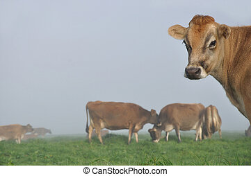 Jersey cow on pasture in morning mist, West Coast, New...