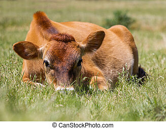 Jersey cow with head in the grass.