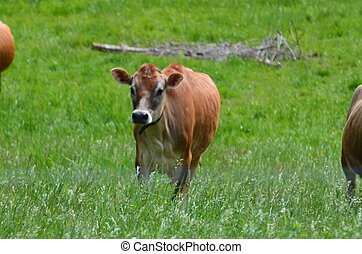 Jersey cows in a pasture