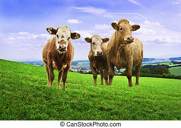 Jersey cows in the field