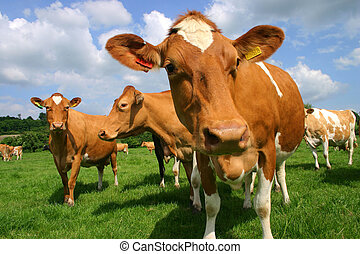 Jersey cows - A group of Jersey cows in pasture photographed...