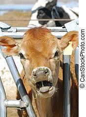 Jersey Dairy Calf