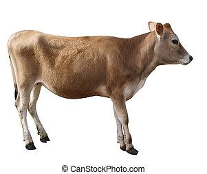 Jersey Heifer