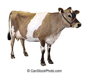 jersey, licou, vache