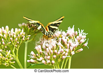 Jersey tiger on a flower