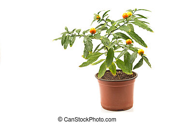 Jerusalem cherry plant in pot isolated on white background