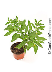 Jerusalem cherry plant in pot isolated on white