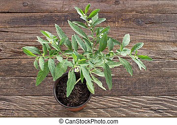 Jerusalem cherry plant in pot on wooden background
