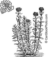 Jerusalem Cross or Lychnis chalcedonica or Dusky Salmon or Flower of Bristol or Burning Love or Maltese Cross or Nonesuch or Silene chalcedonica, vintage engraving. Isolated on a white background.