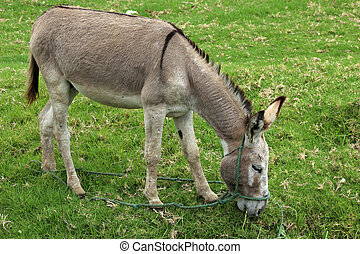 A Jerusalem Donkey grazing in a pasture on a farm in Cotacachi, Ecuador