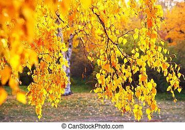 jesień, brzozowe drzewo