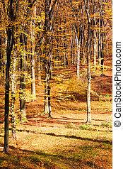 jesień, bukowy, las