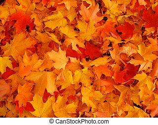 jesień, leaves., klon