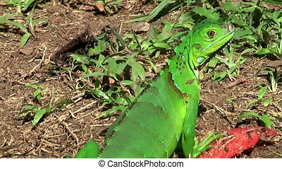 jesus christ lizard warming up in the sun, a fly is landing on his back