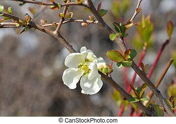 Jet Trail Flowering Quince - Latin name - Chaenomeles x superba Jet Trail