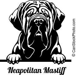 jeter coup oeil, isolé, race, neapolitan, tête, mastiff, -, chien, blanc