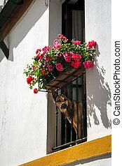 jeter coup oeil, par, balcon, fleuri, (german, chien, shepherd)