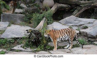 jeu, tigres, deux, baston, zoo, clôture