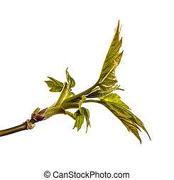 jeune, arbre, leaves., isolé, vert, branche, blanc, érable