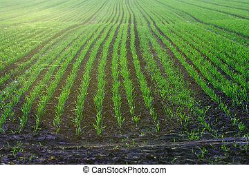 jeune, blé, sur, terre ferme