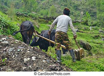 jeune, champ, bulls., népalais, labourer, homme