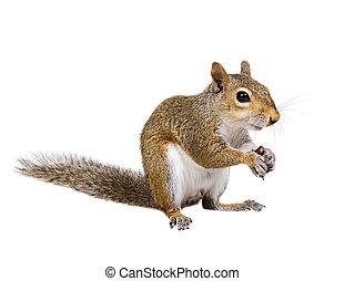 jeune, graines, écureuil, tournesol, coquilles