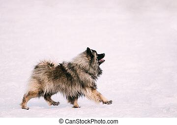 jeu hiver keeshond chien jeune keeshonden neige jeu image de stock recherchez. Black Bedroom Furniture Sets. Home Design Ideas