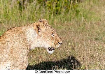 jeune, lionne, sur, savane, herbe, fond