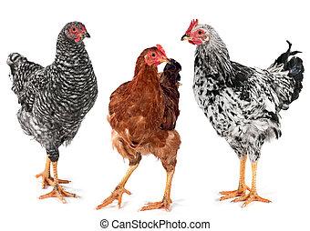 jeune, poulet, poule, et, coq