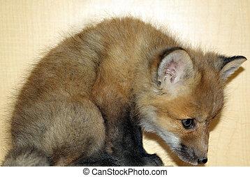 jeune, renard rouge