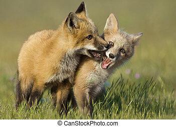 jeune, renards, jouer