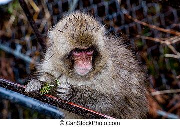 jeune, singe, à, aiguilles pin