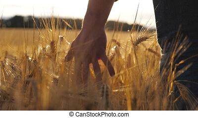 jeune, sur, doucement, en mouvement, crop., main, champ, arrière, homme, haut, orge, fin, mouvement, plantation., lumière soleil, marche, par, doré, croissant, vue, blé, mâle, lent, oreilles, toucher, arrière-plan.