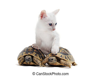 jeune, tortues, chat