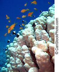 Jewel Fairy Basslets & Bicolor Pullers, Sharm el Sheikh,...