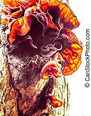 Jews Ear fungus Auricularia auricula-judae on wood - Edible ...